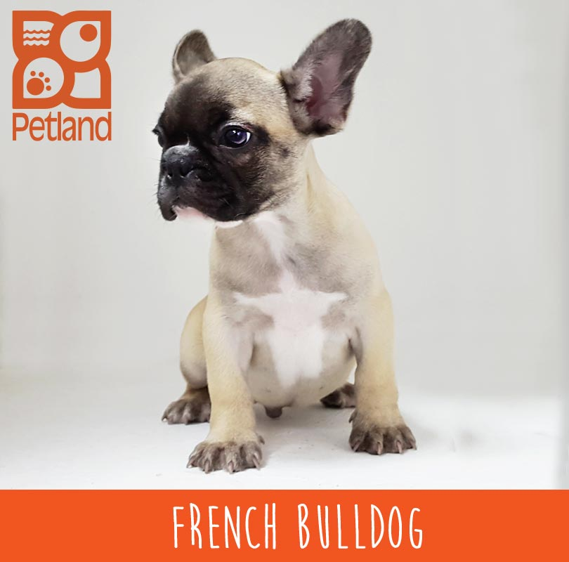 FRENCH_BULL